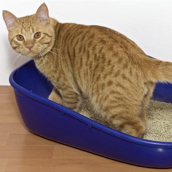 Идиопатический цистит у котов (ицк) - причины, симптомы, лечение   ветклиника зоостатус