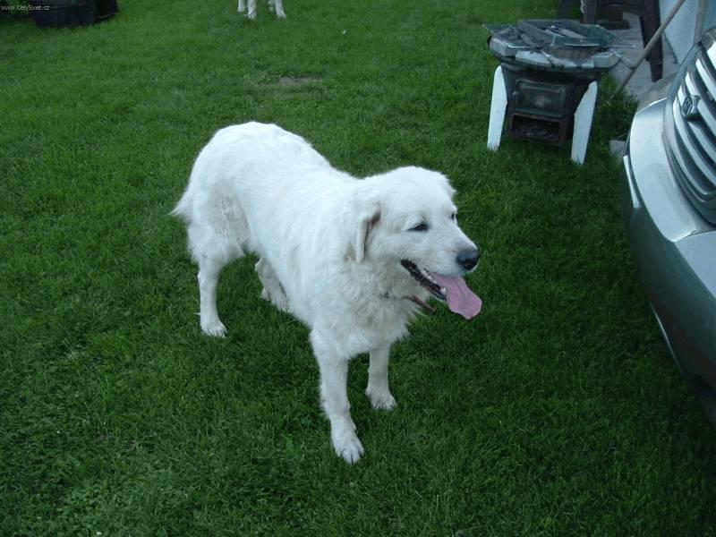 Лаготто романьоло: как содержать итальянскую водяную собаку, стандарт породы, цена и фото