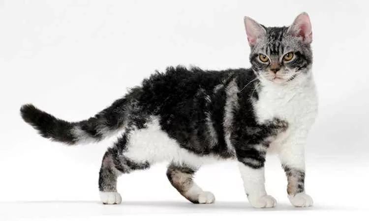 Американская жесткошерстная кошка: фото, описание породы, цены