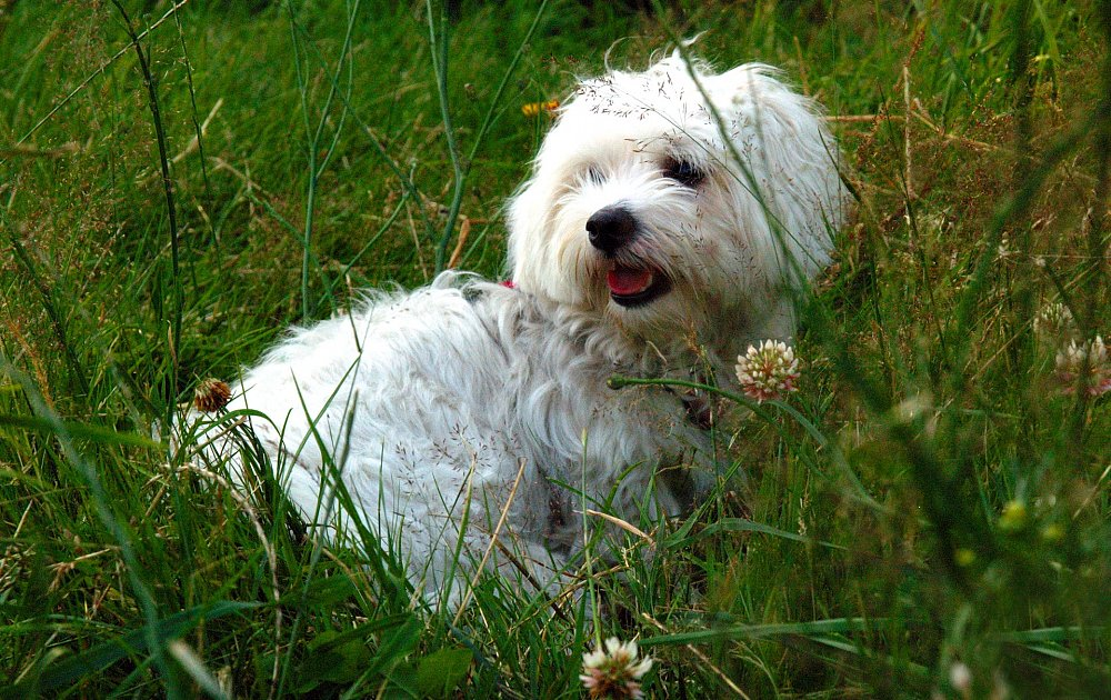 Котон де тулеар собака. описание, особенности, уход и цена породы