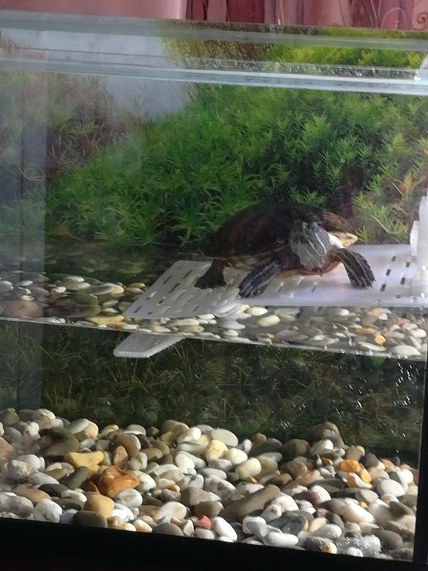 ᐉ почему быстро мутнеет вода в аквариуме с красноухими черепахами - zoopalitra-spb.ru