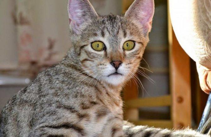 Самые умные породы кошек: топ-10 - topkin | 2021