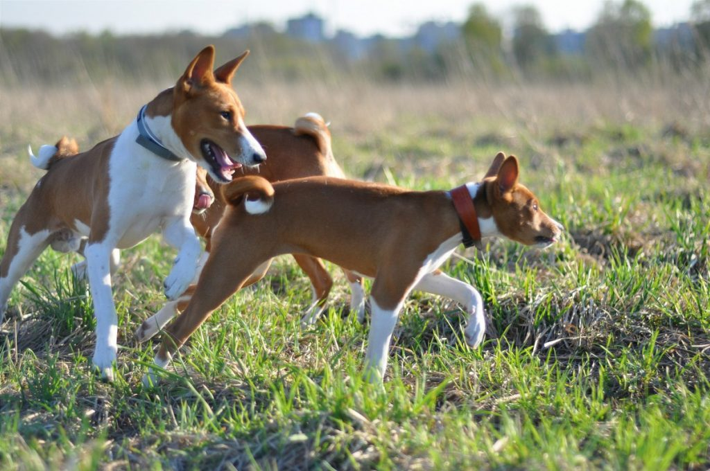 Топ-10 самых умных и преданных собак в мире из маленьких, средних и больших пород и пород для содержания в квартире: породы с фотографиями и названиями. какая порода собак самая умная и преданная: рей