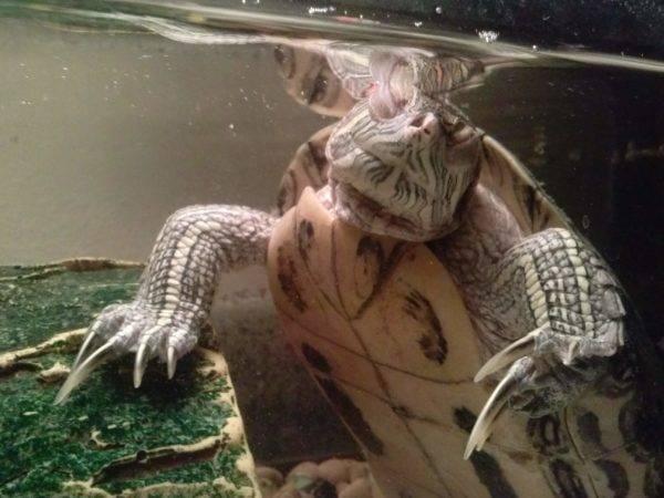 Как спят красноухие черепахи? сон в домашних условиях в воде и на суше, зимой и в другие периоды, ночью и днем