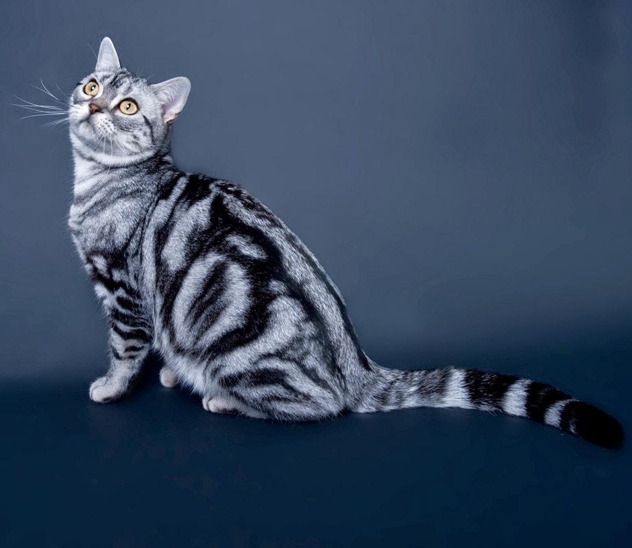 Американская короткошерстная кошка - kisa.su