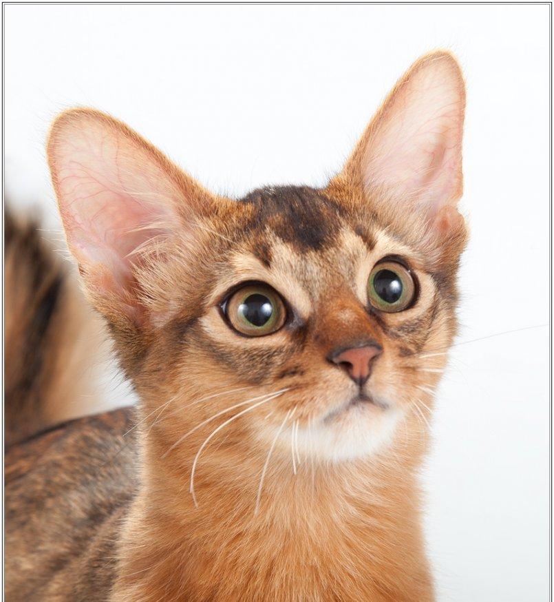 Описание сомалийской кошки с фото: внешний вид, характер, особенности ухода за животным