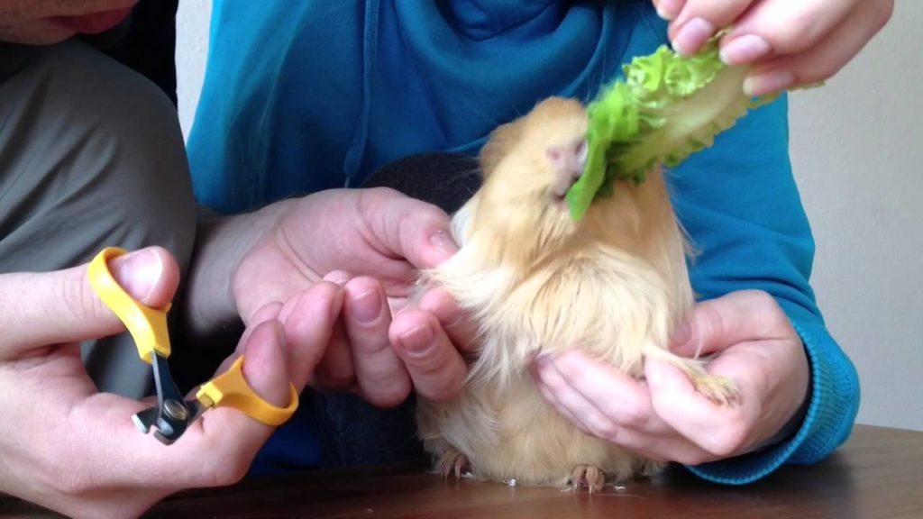 Как подстричь когти морской свинке - очень просто