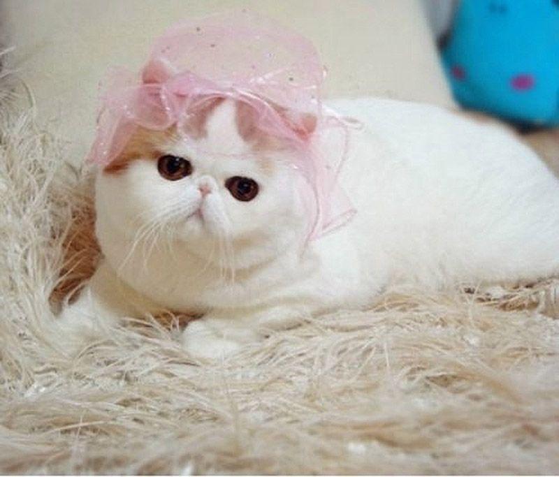 Коты и кошки с приплюснутой мордой: лучшие породы, особенности ухода и содержания, характеристика, описание