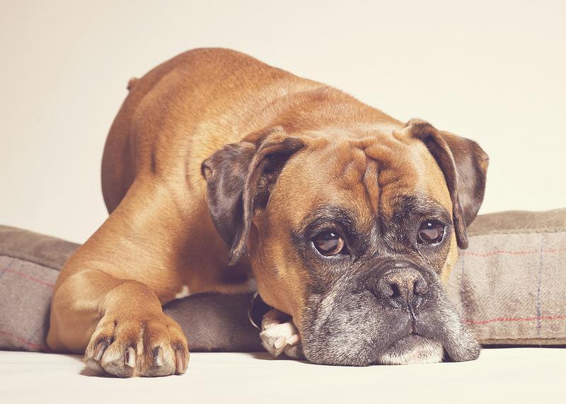 Самые послушные собаки: какую породу выбрать?