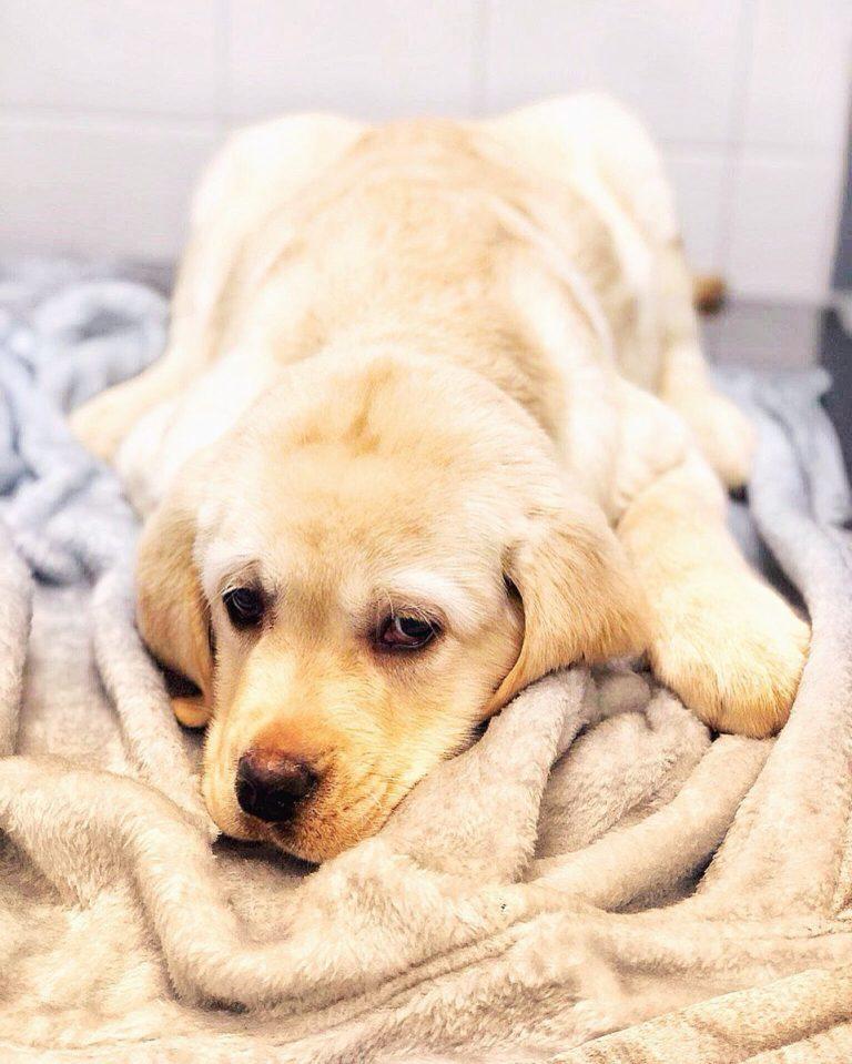 Чумка у собак: симптомы лечение. легочная, кишечная, нервная чума у собак. чума плотоядных у собак.