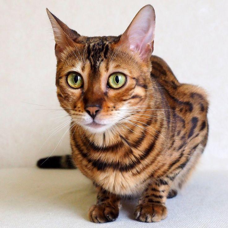 Порода кошек тойгер: особенности, фото и содержание