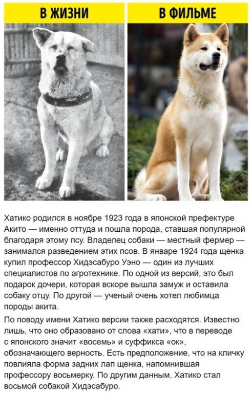 Хатико — это какая порода собак. история верного пса. памятник хатико
