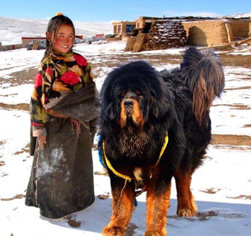 Тибетский мастиф — уравновешенный охранник внушительных размеров