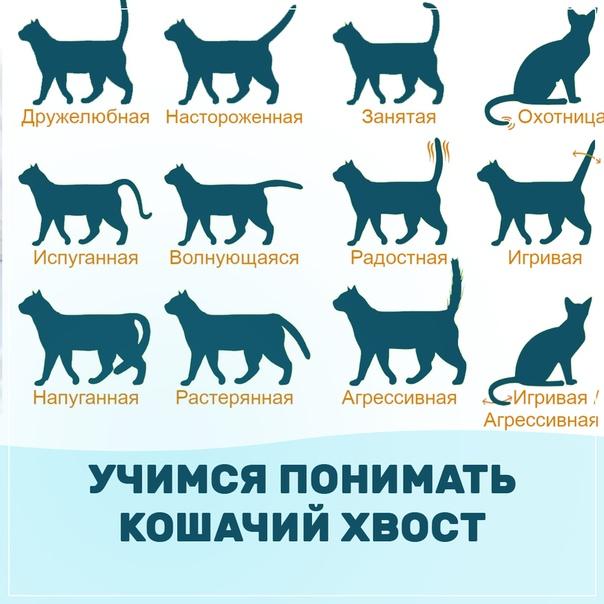 Как понимать кошку и общаться с ней: словарь-переводчик кошачьих звуков и жестов хвоста