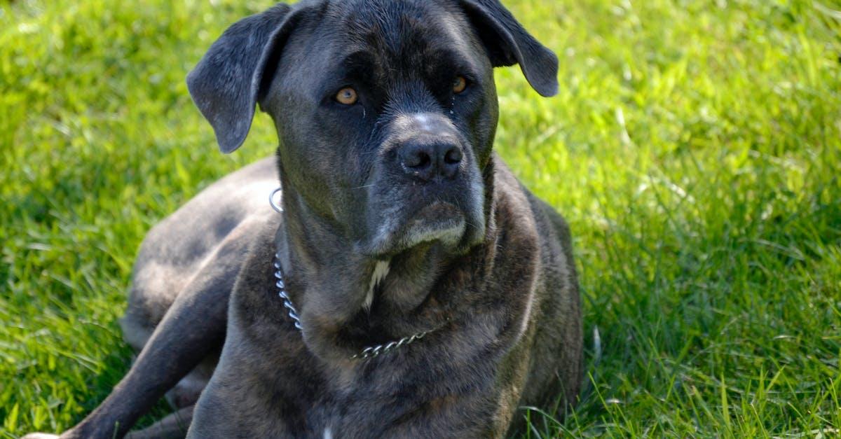 Кане-корсо: описание породы, характеристика, размеры итальянских мастифов, фото собак ищенков, цена + отзывы владельцев
