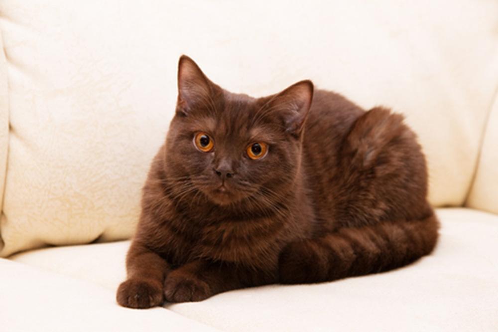 Породы кошек шоколадного окраса