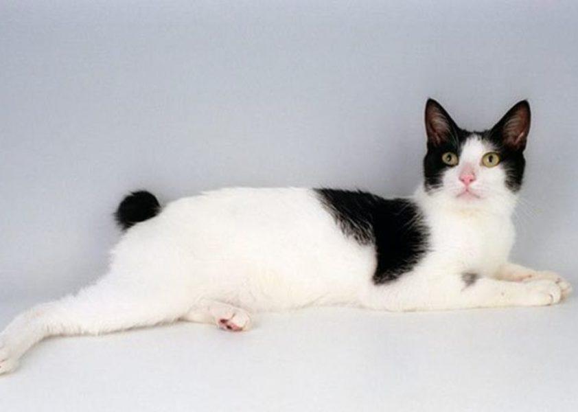 Японский бобтейл кошка: описание породы