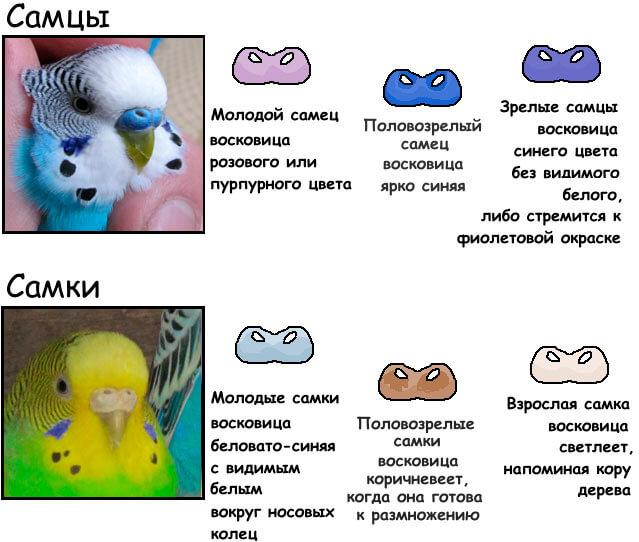 Как выбрать волнистого попугая при покупке: молодого мальчика или девочку