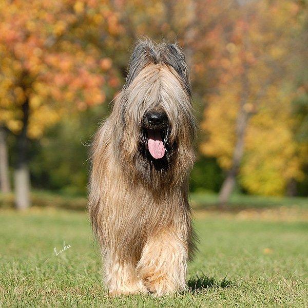 Бриар - порода собак: происхождение, характер, содержание в домашних условиях, отзывы