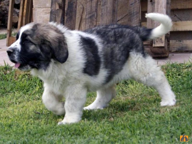 Собака мастиф: фото, как выглядит порода, какие виды бывают и основные окрасы - черный, голубой, рыжий
