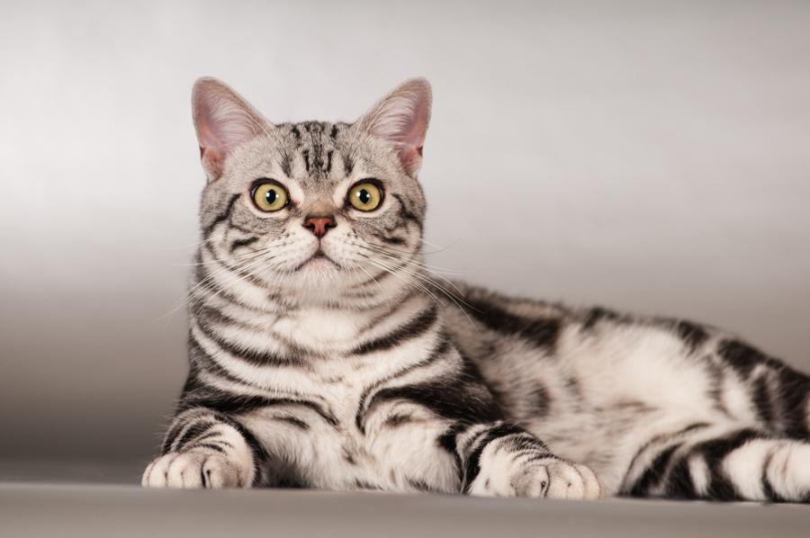 Гладкошерстные породы кошек с фотографиями и названиями - wlcat.ru