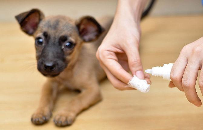 """Правила чистки ушей у собаки   блог ветклиники """"беланта"""""""