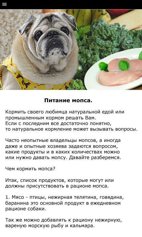 Как и чем кормить щенка мопса: меню в 1, 2, 3, 4 или 6 месяцев, режим и норма кормления
