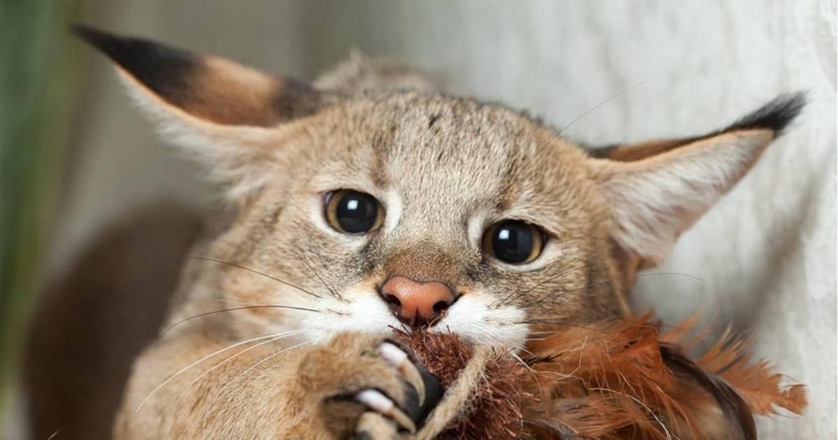 Чаузи ???? фото, описание, характер, факты, плюсы, минусы кошки ✔