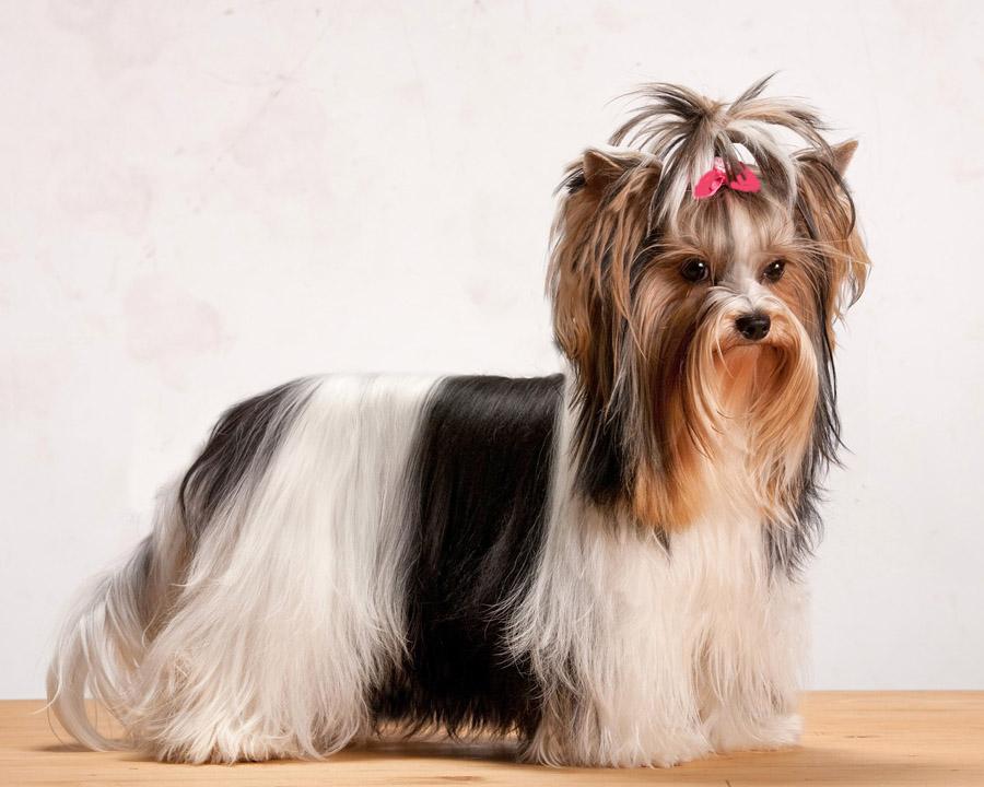 Бивер йорк собака. описание, особенности, цена и уход за породой бивер йорк