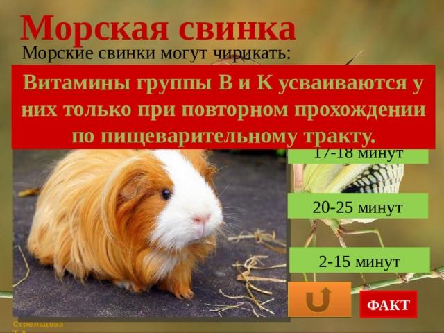 Морская свинка: описание пород, содержание в домашних условиях