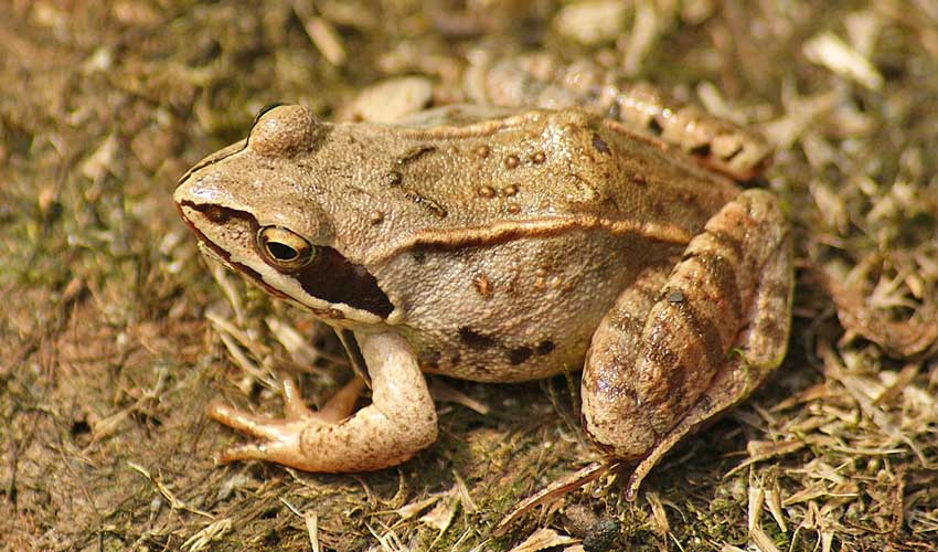 Описание травяной лягушки из красной книги
