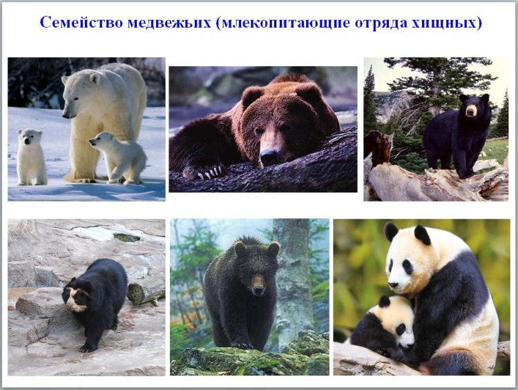 Медведь. виды медведей. кто такие, как выглядят, где обитают, что едят.