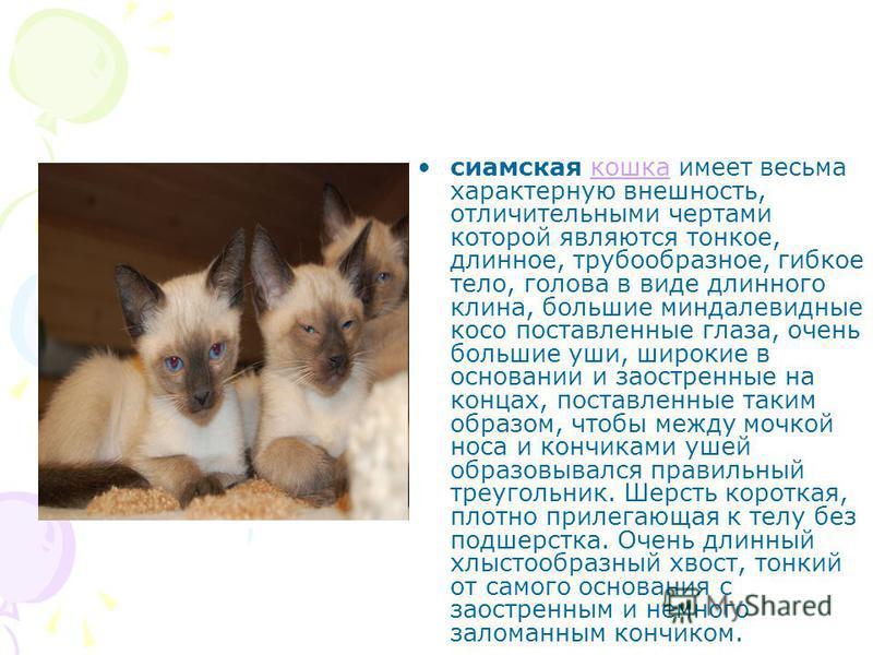 Сиамская кошка: все о породе от а до я. фото, рацион, правила ухода и содержания, внешний вид, повадки, характер