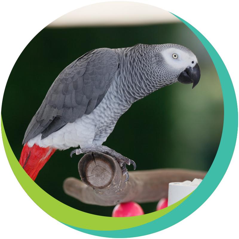 Жако попугай, подвиды, ареал обитания, характер