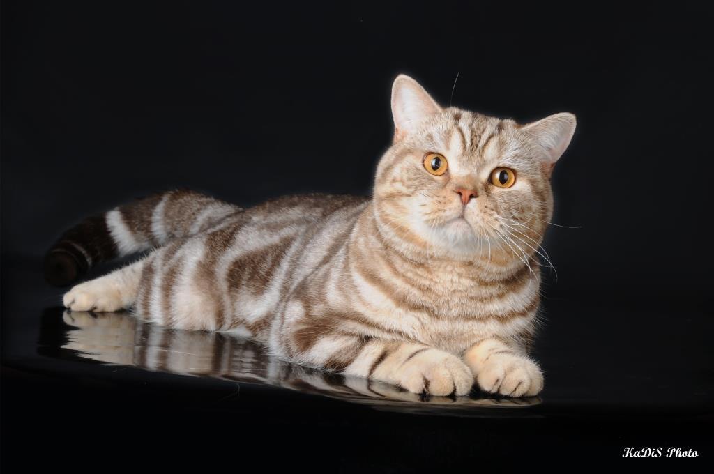 Список окрасов британских кошек