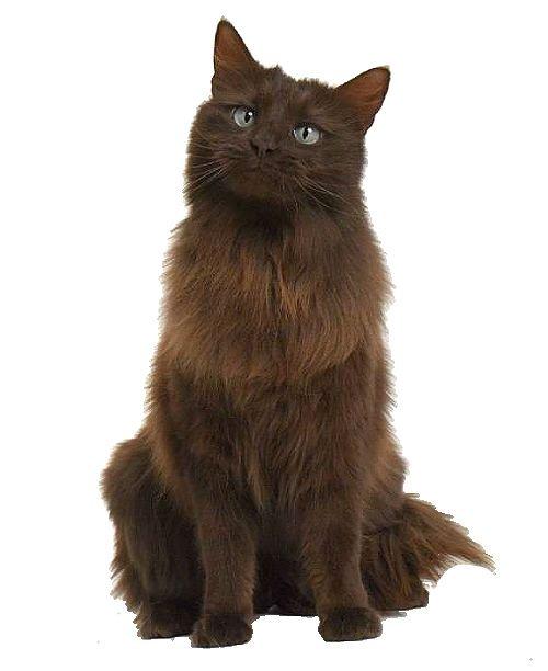 Йоркская шоколадная кошка: эстетика вкуса