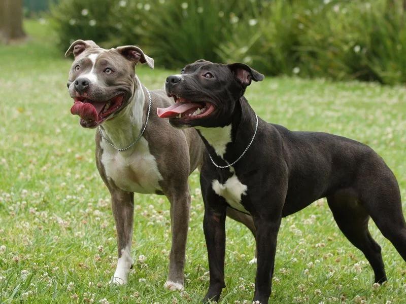 Топ-15 популярных пород бойцовских собак