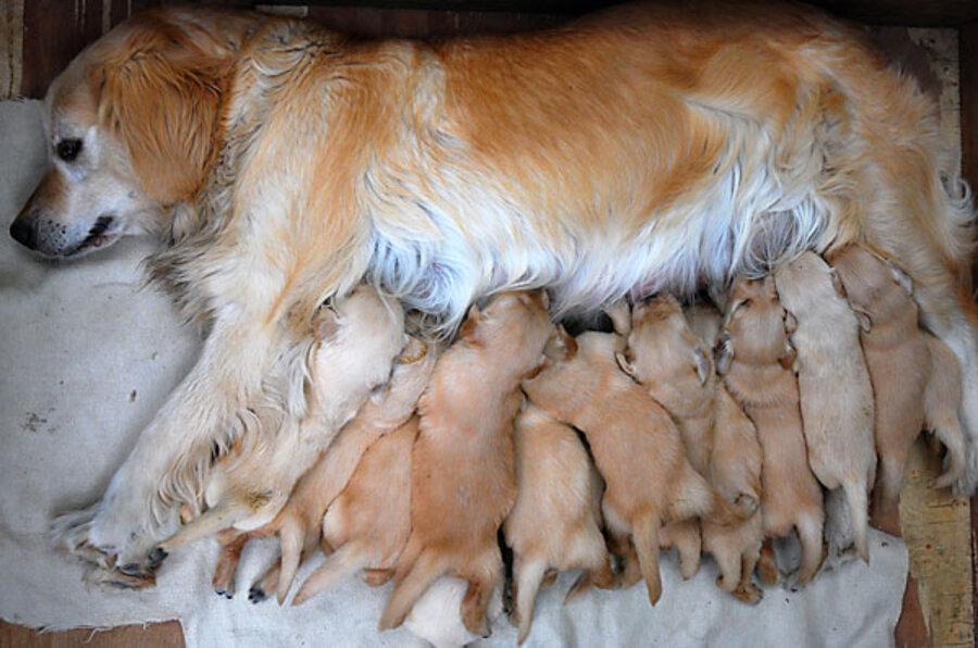 Сколько длится беременность у собак: продолжительность, периоды в таблице, различие по породам, возможные осложнения