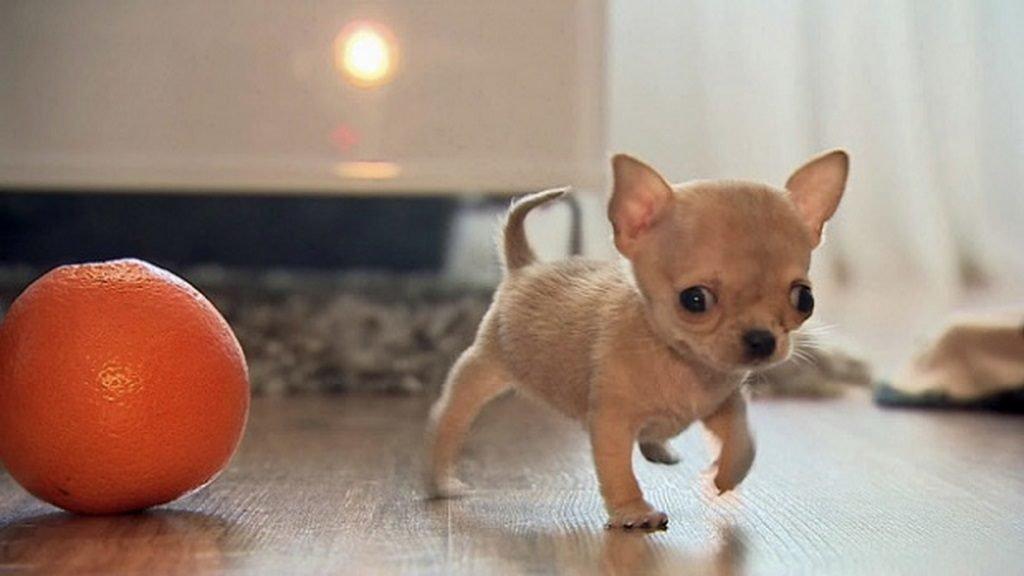 Породы собак маленьких размеров с фото и названиями: какие песики идеальны для небольших квартир?