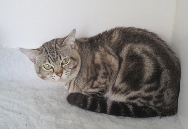 Азиатская короткошёрстная кошка: история выведения, характер и уход