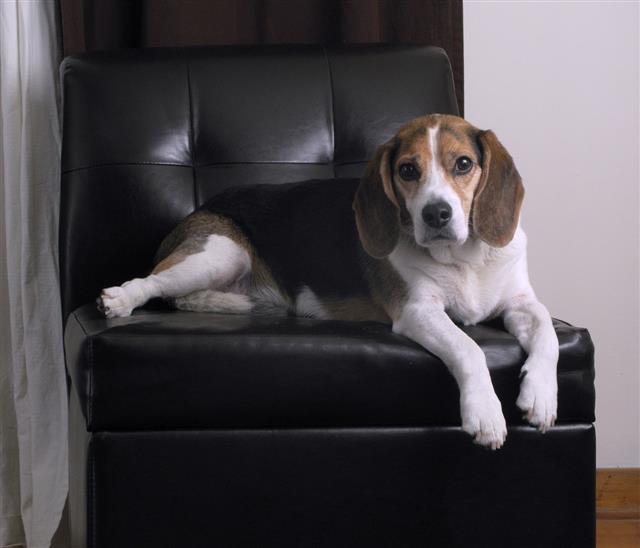 Бигль собака. описание, особенности, виды, цена, уход и содержание породы бигль | живность.ру