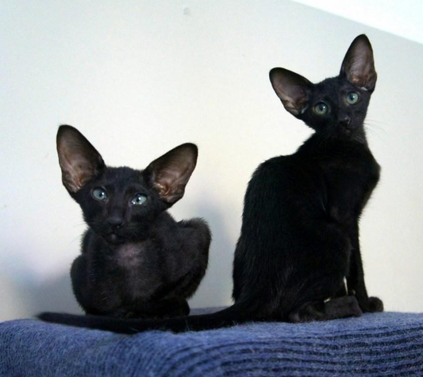 Ориентальная кошка: фото, описание породы, характер, здоровье, уход и содержание