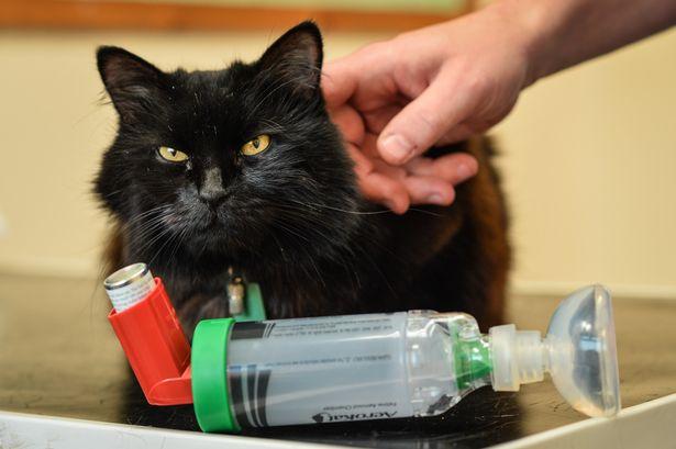 Астма у кошек: симптомы, лечение – проверено ветврачом
