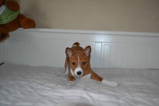Породы собак, которые не линяют и не пахнут | нелиняющие, для квартиры