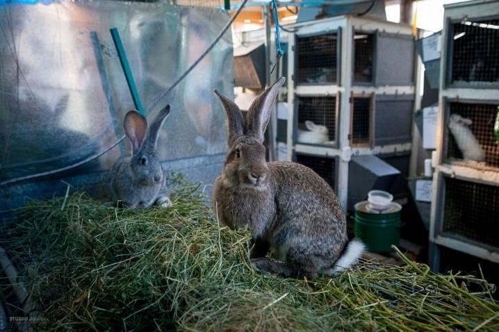 Кролик породы фландр. описание, особенности, уход и содержание