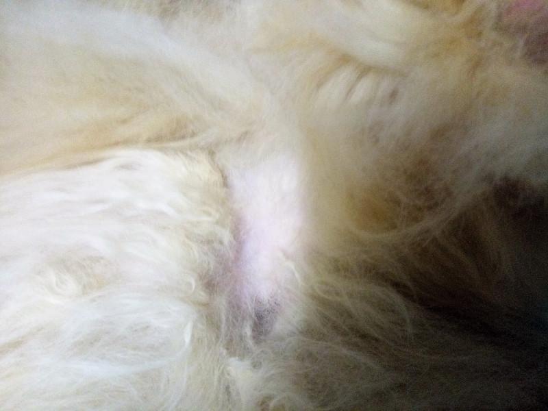 Кошка теряет шерсть у основания хвоста