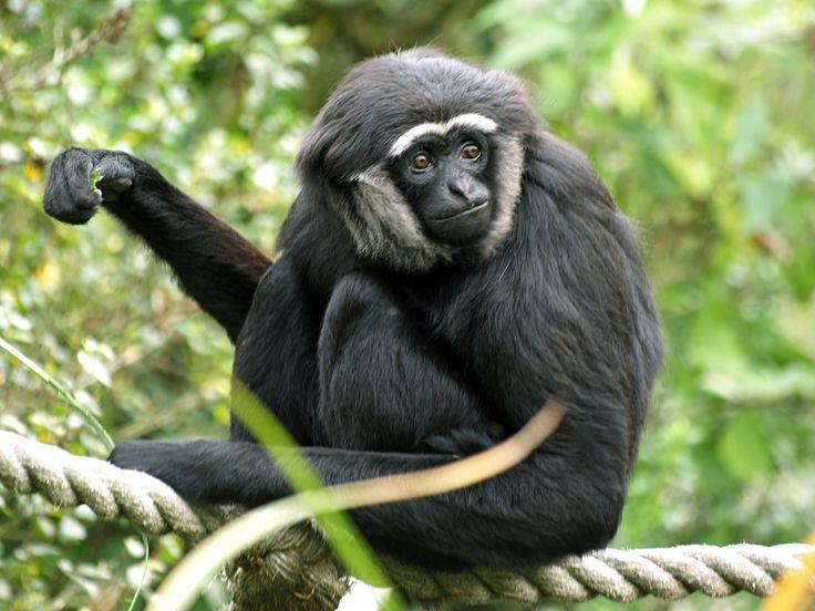 Дрессировка обезьян капуцинов    дрессировка обезьян капуцинов