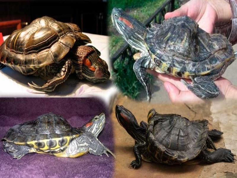 Красноухая черепаха: рекомендации по уходу и кормлению