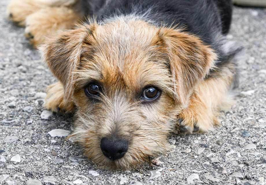 Норфолк терьер: описание породы - моя собака