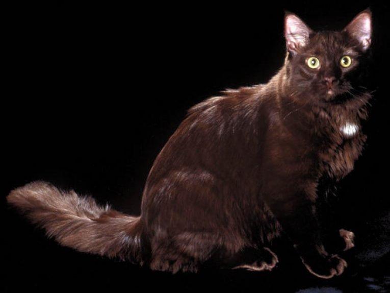 Йоркская шоколадная кошка – особенности породы, как выглядит?